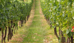 vines in vineyard in Kent