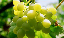 white grapes at a vineyard